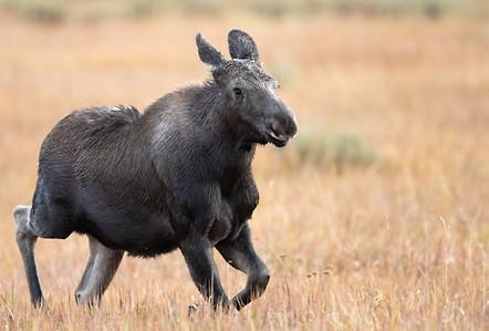 Moose wildlife photography workshop