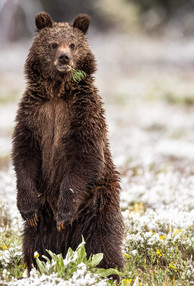Bear Grand Tetons Photography Workshop