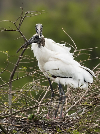 nesting Wood Storks wildlife photography workshop Savannah GA