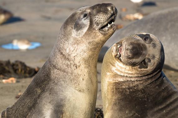 Elephant Seals fighting