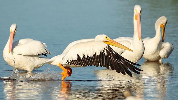 White Pelican takeoff Sanibel Island Florida