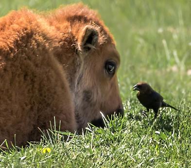 Baby Bison Yellowstone
