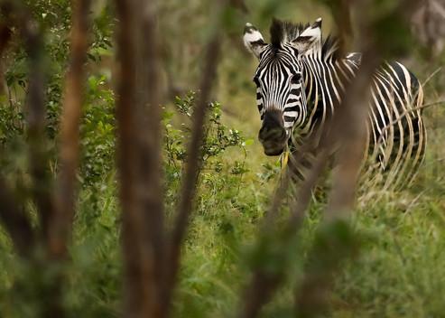 Zebra Cheetah South Africa Photography Workshop Safari
