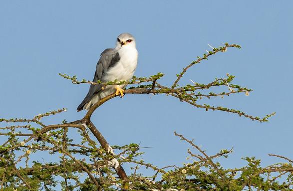Pygme Falcon Tanzania Safari