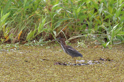 Heron Savannah GA