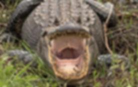 Alligator Savannah photography workshop