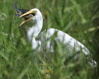 Great Egret Eating Fish Florida