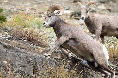 Big Sheep Glacier National Park