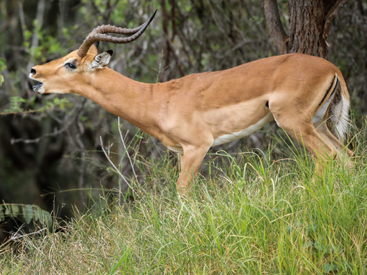 Male Gazzele Rut South Africa