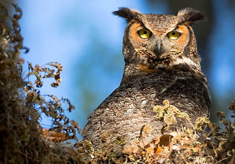 Great Horned Owl Photography Workshop Florida