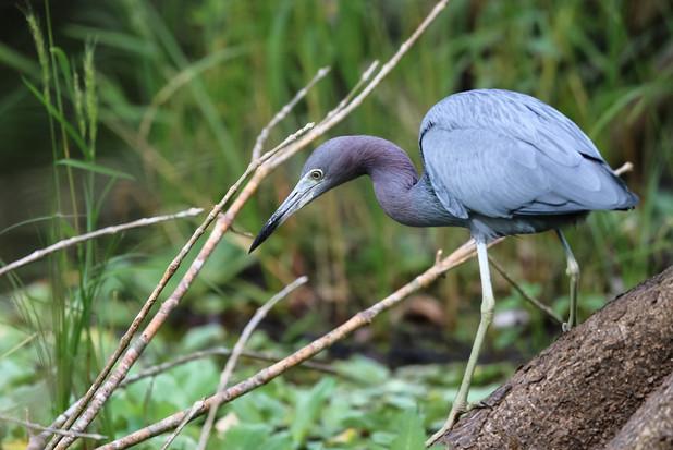 Egret Naples Florida