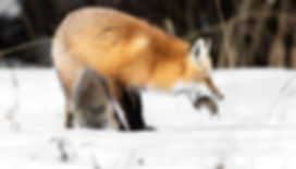 Fox Yellowstone National Pak Winter Photography Workshop