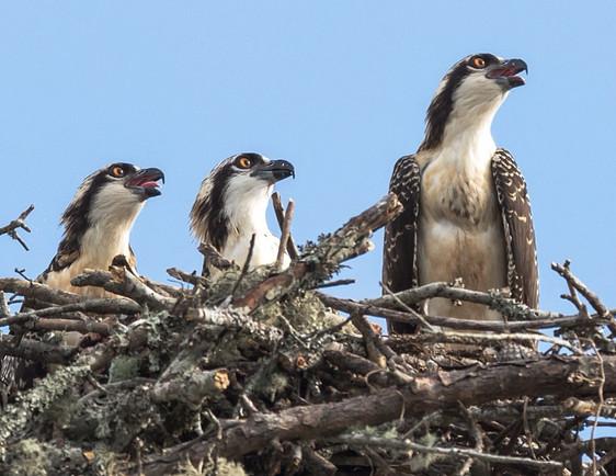 Tripod-Travelers-Ospreys-Wildlife (20)_edited_edited.jpg
