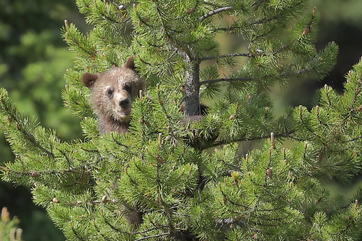 Grizzly Cub in Tree Grand Teton National Park