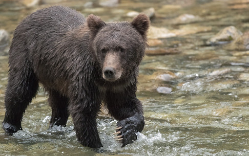 Grizzly Bear British Columbia