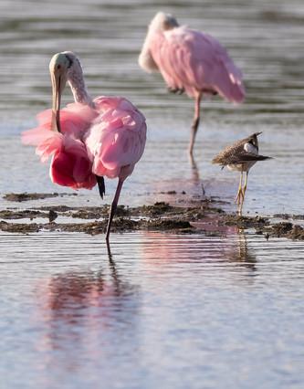 Roseate Spoonbills Sanibel Island Florida