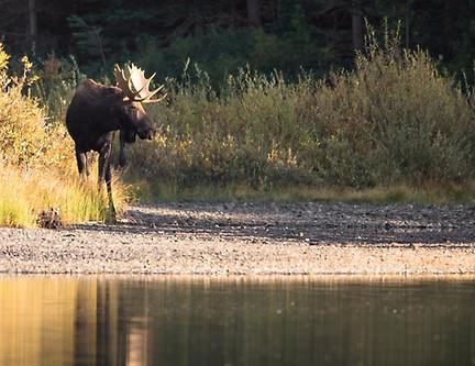 Male moose by lake Glacier National Park