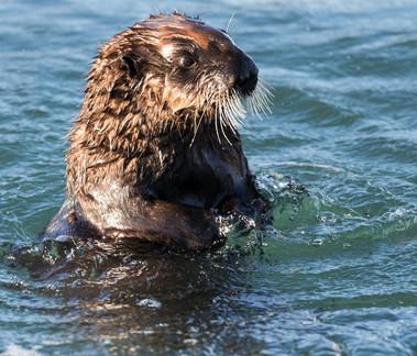 Sea Otter Morro Bay