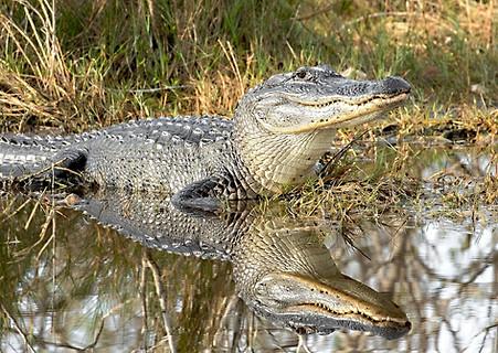 Alligator and Reflection Florida Wildlife