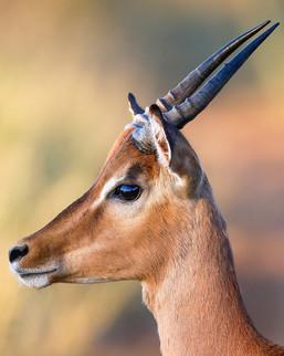Impala  South Africa Safari Tripod Travelers