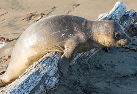 Elephant Seal Pup Climbing over log