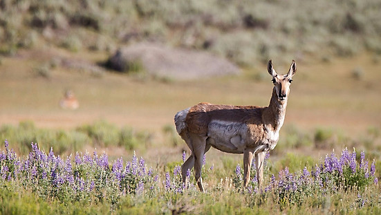 Pronghorn Yellowstone National Park