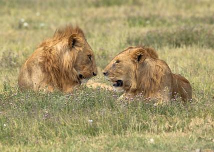Lions Tanzania Photography Safari