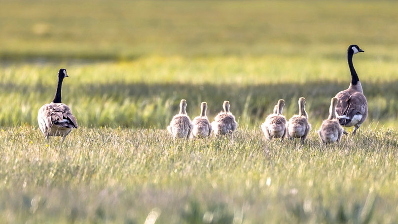 Geese with Goslings Yellowstone National Park
