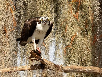 Osprey Feedning