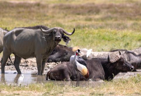 Cape Buffalo Tanzania Photography Safari