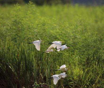 Egrets Savannah GA