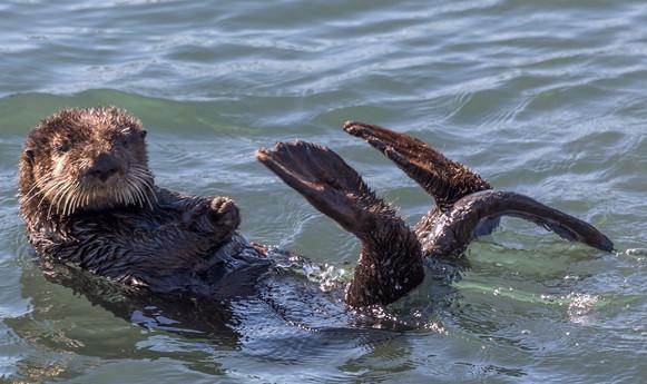 Sea Otter in the ocean Morro Bay