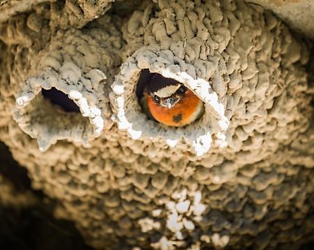 Mud Swallow Yellowstone National Park