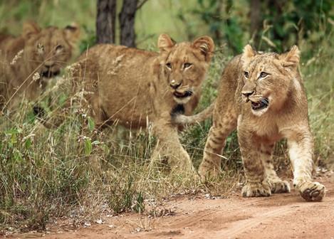 Lion Cubs South Africa Safari Tripod Travelers