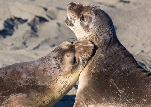 Elephant Seals Biting
