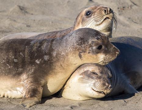 Cute Elephant Seals on Beach