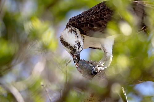Osprey eating fish Flamingo Everglades Florida