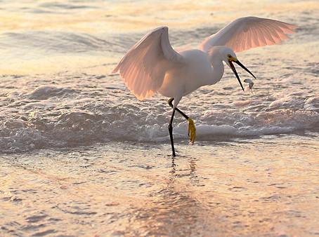 Egrete Eating fish Sanibel Island Florida