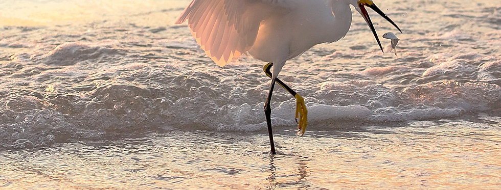 Egret Fishing Florida