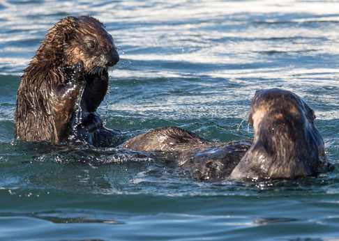 sea otters playing in the ocean
