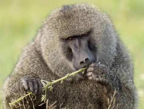 Baboon Tanzania Photography Safari