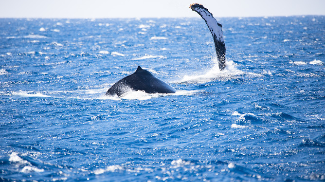 Humpback Whale Breach Maui, Hawaii