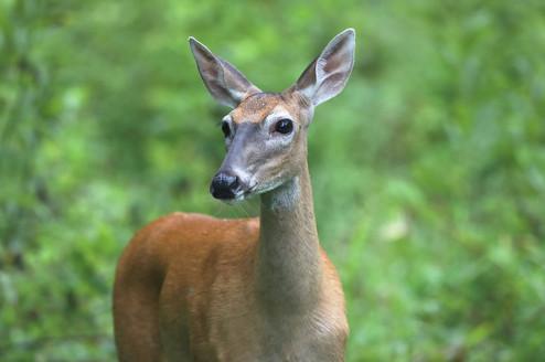 Deer Smoky Mountain National Park