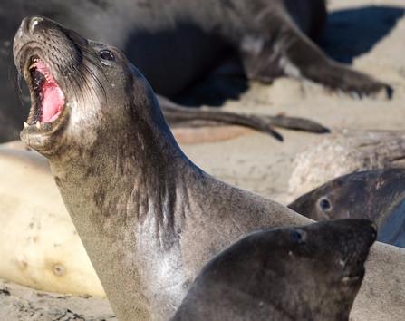 Elephant Seal calling on beach