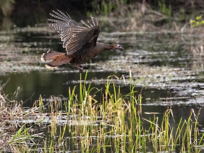 Turkey Gator wildlife photography workshop Savannah GA