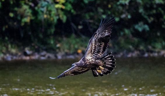 Eagle British Columbia