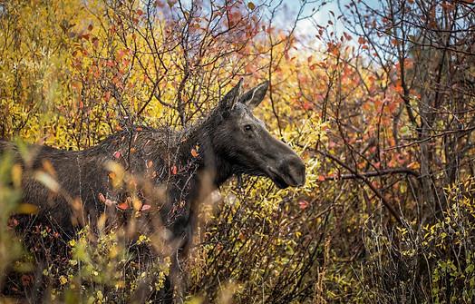 Moose Grand Teton National Park