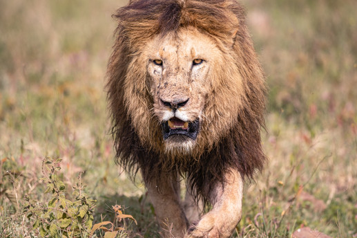 Male LionTanzania Photography Safari