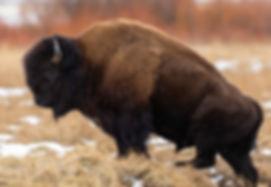 Bison Yellowstone National Pak Winter Photography Workshop