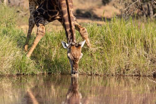 Giraffe South Africa Photography Workshop